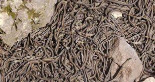 Narcisse-Snake-Dens-serpents-canada