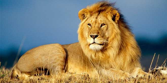 ce-lion-ressent-herbe-apres-13-ans-en-cage