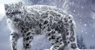 ces-felins-en-voient-de-disparition