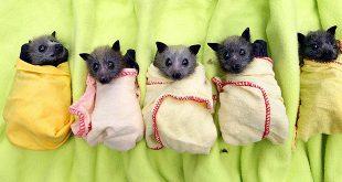 chauves-souris-burritos-bebes