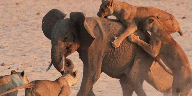 elephanteau-attaque-par-lions