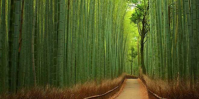 foret-bambous-japon