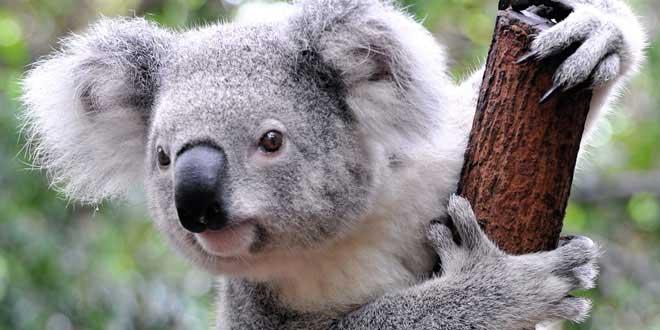 koala-survit-agrippe-voiture-90-km-autoroute