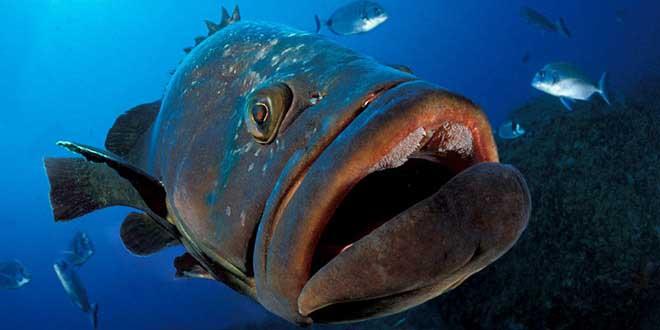 merou-geant-requin-attaque