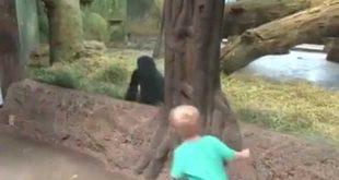 un-enfant-joue-a-cache-cache-avec-un-gorille