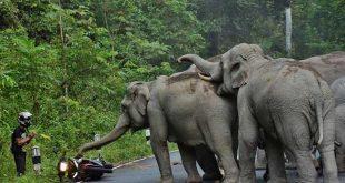 un homme-se-fait-charger-par-des-elephants-thailande