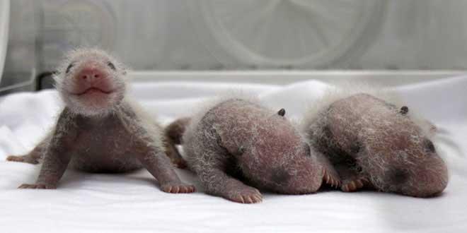 video-de-la-naissance-de-triles-bebe-pandas