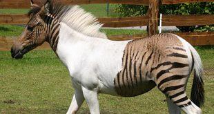 zorse-zebrule