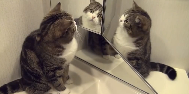 R action chats face aux miroirs video dr le chats for Miroir reflet